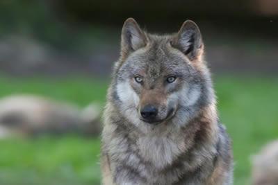 Wolfsvortrag, Foto: W. Ewert, NABU