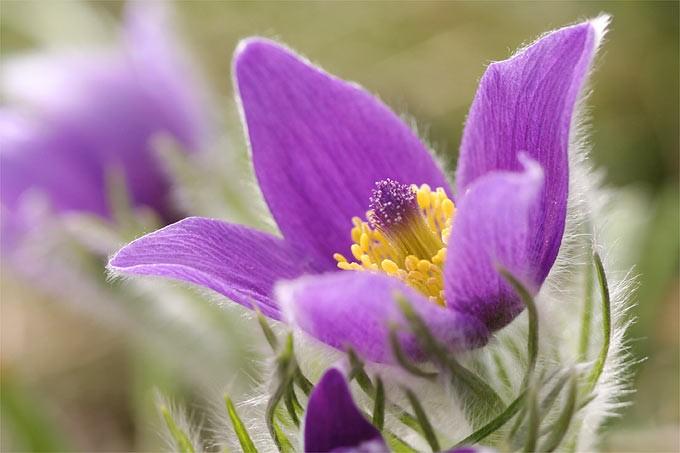 Frühlingskuhschelle, Foto NABU