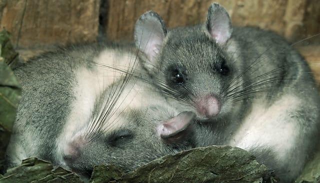 Foto: Siebenschläfer, Deutsche Wildtierstiftung