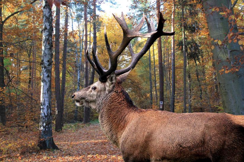 Thümmlitzwald Hirsch, Bild: Pixabay, Hans Benn